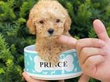Mini teacup toy poodle yavrumuz