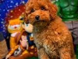Yakışıklıyım diyen Red Toy Poodle yavrumuz
