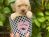 Irk ve sağlık garantili apricot toy poodle yavrularımız