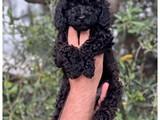 Siyah toy poodle yavrularımız