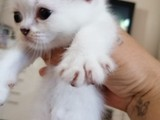 0 kulak Scottish fold