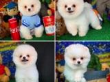 Irk ve Sağlık Garantili Pomeranian Yavrularımızdan