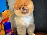 Yakışıklı oyuncu sevimli Pomeranian Boo yavrumuz