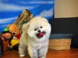 Gülen Surat Pomeranian Boo Kızımız Daisey
