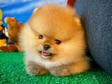 Yarışma Düzeyi Safkan Irk Garantili Pomeranian Boo Yavru