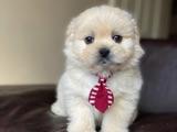 Dünyalar Tatlısı Maltese Terrier Yavrumuz