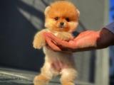 Sevimli mi sevimli sağlık garantili güzeller güzeli Pomeranian Boo yavrumuz