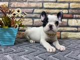 Süper Kalite Maskeli French Bulldog Yavrumuz Milka