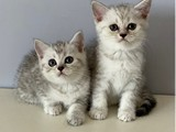 Silver tabby british shorthair kardeşler