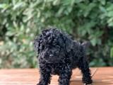 Siyah Dişi Toy Poodle Yavrular