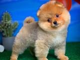 Ayı surat mini boy wc eğitimli Pomeranian
