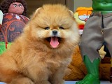 ShowClass SCR Sertifikalı Pomeranian Boo Yavrular