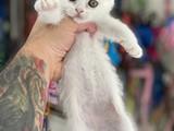 Kar beyaz dişi british shorthair yavrumuz