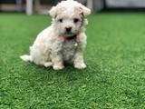 Gypsy ( gipsi) xsmall toy poodle