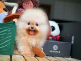 Gülenyüz eu pasaport Pomeranian