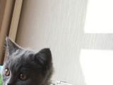 Scr British Shorthair Safkan Erkek 3 aylık