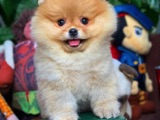 Türkiyenin Tek Pomeranian Boo Ailesi @boopatihouse