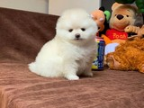 Muhteşem Güzellikte Olan T-Cup Pomeranian Boo Yavrularımız