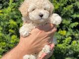 Safkan apricot toy poodle yakışıklımız