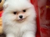 Pomeranian Gülen surat yavrularımız