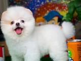 En güzelim diyen Güleryüzlü Pomeranian Boo yavrumuz