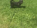 acil olarak sahiplendirilecek siyah maltese terrier