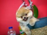 Evinize Neşe Kaynağı Safkan Pomeranian Boo
