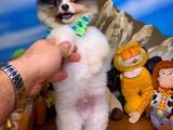Ayıcık Surat Safkan PartyColour Pomeranian Boo Yavrumuz