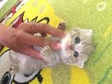 SCOTTİSH PUFF CATS