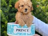 Mini teacup apricot toy poodle bebeğimiz