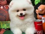 Safkan SCR Belgeli Pomeranian Boo Yavru