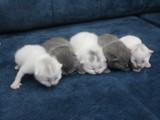 Scottish fold yavrularımızı sahiplendiriyoruz