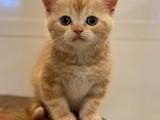 Orange tabby british shorthair erkek yavrumuz
