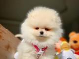 Irk ve Sağlık Garantili Pomeranian Yavrumuz