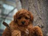 3.5 aylık yakışıklı Red Toy Poodle yavrumuz