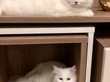 Beyaz chinchilla kedi