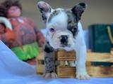 """Yeni gelen 3 aylık yarışma düzeyi özel renkde olan blue french bulldog oğlumuz """"Zagor"""""""