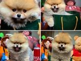 Irk ve Sağlık Onaylı Pomeranian Boo Yavruları