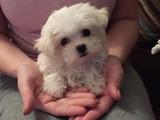 Mini Boy safkan maltese terrier yavrumuz