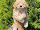 Sevimli apricot toy poodle yavrularımız