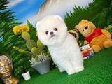 Mükemmel Yüz Yapısına Sahip Safkan Pomeranian Boo