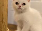 White beyaz british shorthair dişi yavrularımız