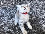 Misket Gözlü Silver Tabby British Shorthair Yavrumuz