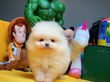 Mini boy gülen yüz Pomeranian Boo