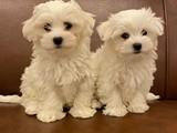 Kusursuz maltese terrier yavrularımız