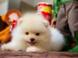 Teddy surat Pomeranian boo