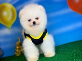 SCR Sertifika Belgeli Show Kalite Pomeranian Boo