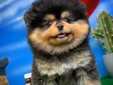 Irk ve Sağlık Garantili Pomeranian Yavrumuz Duman