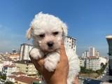 Maltese terrier güzelliği
