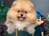 Irk ve Sağlık Onaylı Safkan TeddyBear Pomeranian Boo